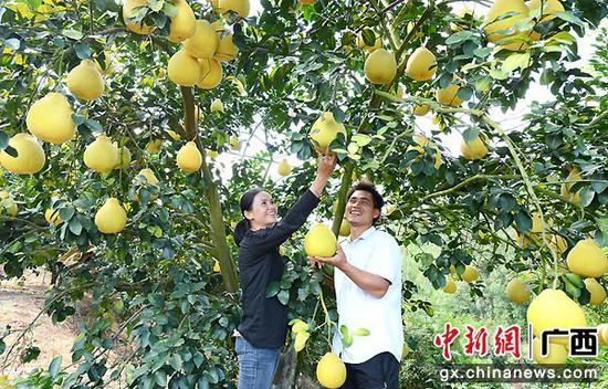 图为曾健、肖颖夫妻俩观察柚果成熟状况。封晓天  摄