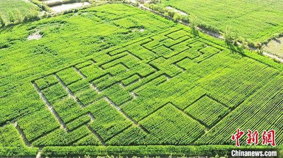 """俯瞰""""玉米迷宫""""。(资料图) 张凯 摄"""