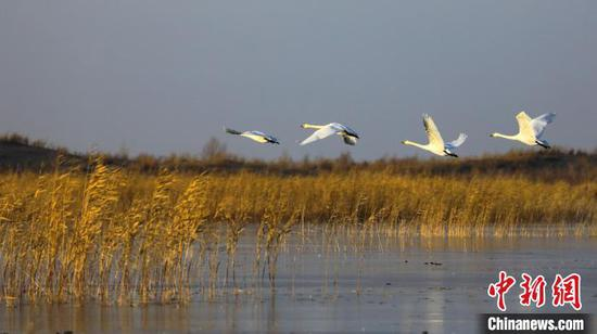 新疆博斯騰湖:蘆葦搖曳天鵝舞