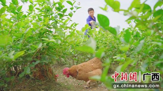 横县陶圩养殖户给鸡喂食含有茉莉花干的粉料 商良坤 摄