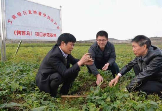 图为易桂林了解何首乌种植情况。