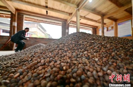 贵州从江万亩油茶丰收 农户销售忙