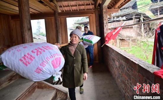 11月27日,貴州省從江縣斗里鎮臺里村村民挑著油茶籽到合作社售賣。吳德軍 攝