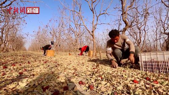 新疆喀什岳普湖县12万亩红枣喜获丰收