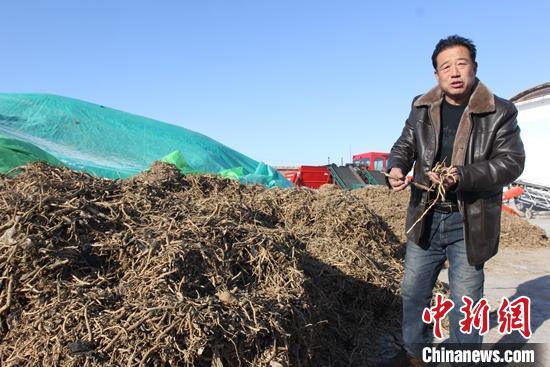 新疆阿勒泰哈巴河县萨尔塔木乡库尔米希村中药材收购点负责人王安岭介绍板蓝根今年的产量。 陶拴科 摄