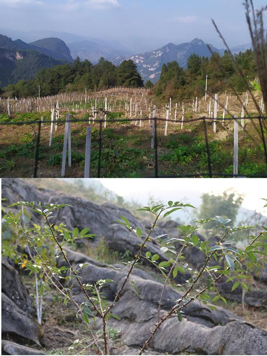 永胜村猕猴桃基地(上)和种植的花椒(下)