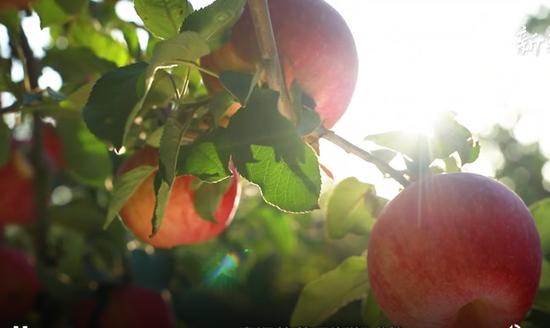 北纬41度绝佳礼物——新疆阿克苏的苹果熟了