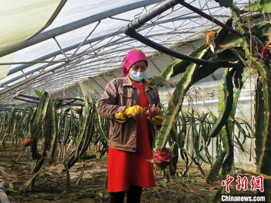 """新疆塔县:寒冷高原结出""""热带果"""" 设施农业助民增收"""