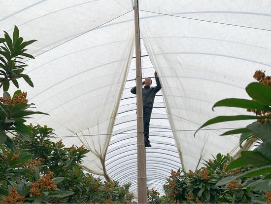 果农为正值生长期的枇杷搭棚架  吕琼雅 摄