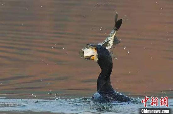 四大冬候鳥在杭州西湖集結完畢 引鳥友愛好