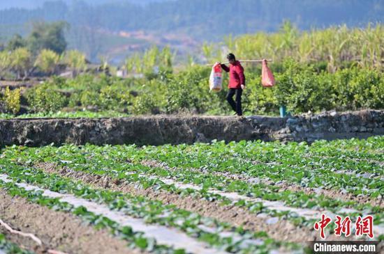 从江县贯洞镇的村民在菜地里搬运肥料。 吴德军 摄