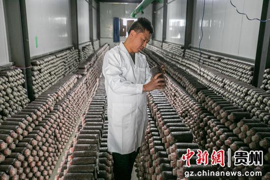 12月23日,村民在贵州省毕节市大方县慕俄格街道办关井村乌蒙腾菌业菌棒培养室里查看菌棒培养情况。