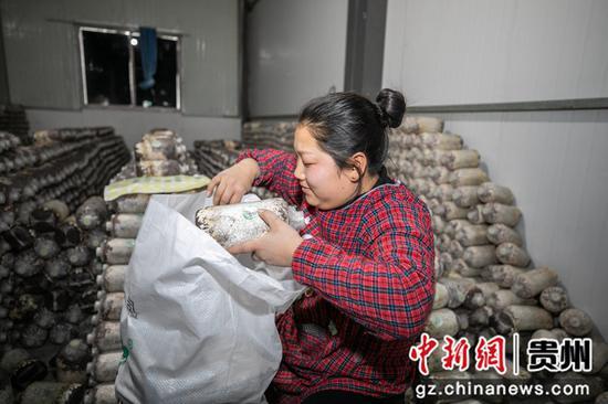 12月23日,村民在贵州省毕节市大方县慕俄格街道办关井村乌蒙腾菌业菌棒培养室里将菌棒打包装袋。