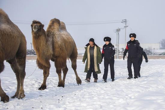 民警与牧主一同将走失在铁路线路旁的骆驼赶回驼圈。