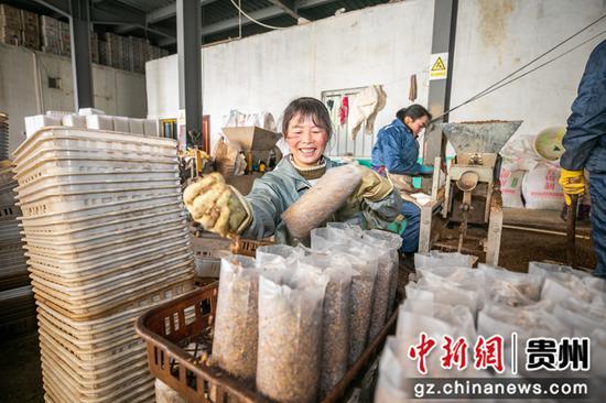 12月23日,村民在贵州省毕节市大方县慕俄格街道办关井村乌蒙腾菌业车间里生产食用菌棒。