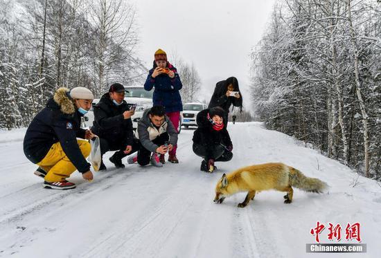 新疆喀納斯:愛心游客投喂野外覓食的狐貍