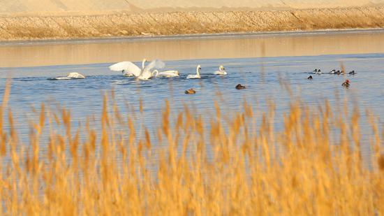 8只美丽的天鹅和几只红嘴鸭在台特玛湖悠闲游戈,这是首次在该水域发现天鹅身影。