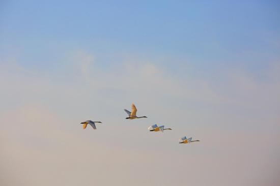 新疆若羌:臺特瑪湖首現天鵝麗影