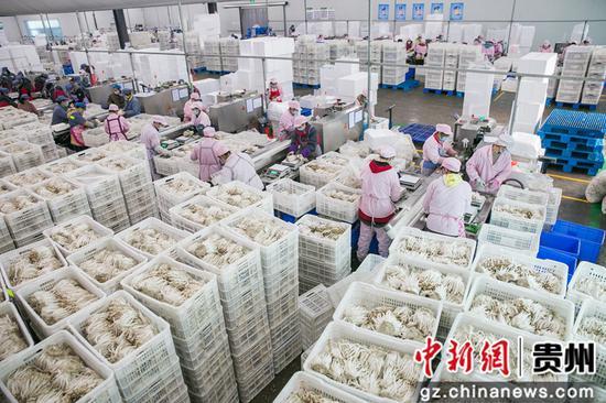 大方县雪榕公司工人在分拣食用菌 罗大富 摄