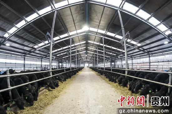 大方县纯种安格斯养殖场 杨云 摄