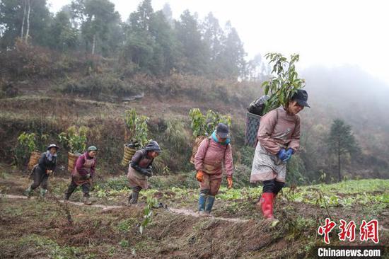 圖為農戶在貴州黔西金蘭鎮雙慶村氈帽山基地轉運香樟樹苗?!■暮陚?攝