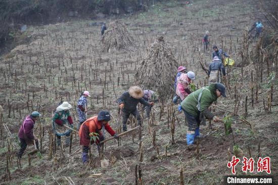 圖為農戶在貴州黔西金蘭鎮雙慶村氈帽山基地種植香樟樹苗?!■暮陚?攝