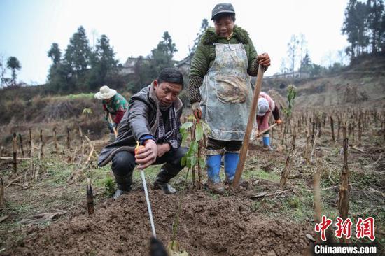圖為貴州黔西金蘭鎮雙慶村氈帽山基地負責人在指導農戶種植香樟樹苗?!■暮陚?攝