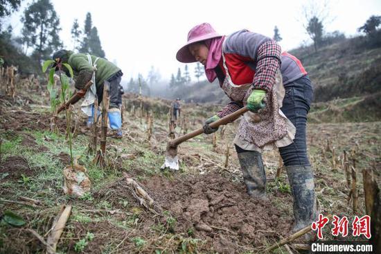 圖為農戶在貴州黔西金蘭鎮雙慶村氈帽山基地種植香樟樹苗?!■暮陚悺z