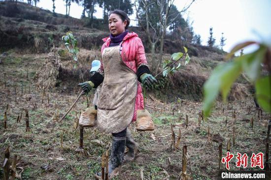 圖為農戶在貴州黔西金蘭鎮雙慶村氈帽山基地分發香樟樹苗?!■暮陚?攝