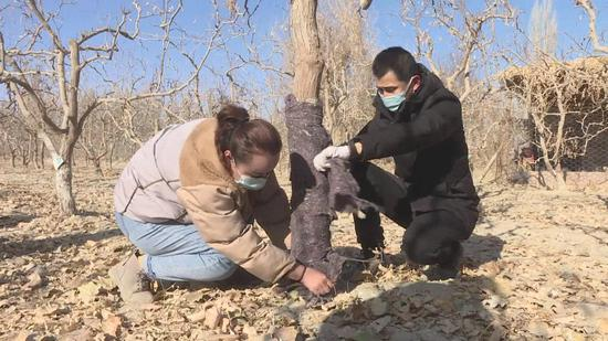 """新疆巴州若羌县千余名党员干部深入田间地头,与广大农牧民群众一同给枣树堆土、包扎,为枣树""""添衣保暖""""。"""