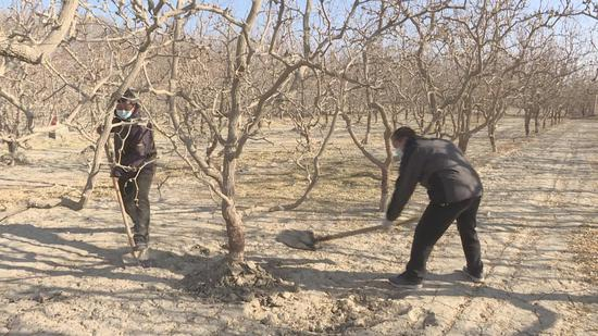 """新疆巴州若羌县:23.38万亩红枣树穿上越冬""""小棉袄"""""""