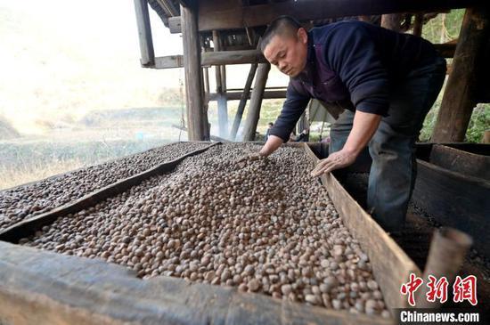 图为一名侗族榨油师傅在烘烤油茶籽。 吴德军 摄