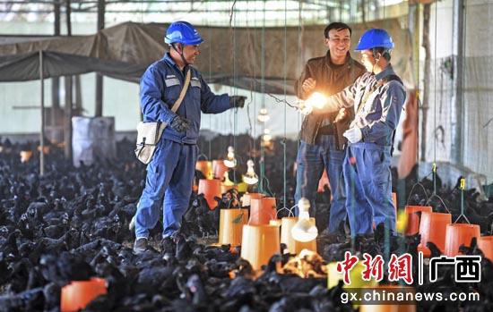 在南方电网公司定点扶贫县广西河池东兰县,乌鸡养殖成为东兰县脱贫攻坚头号产,100%覆盖贫困户。马华斌 摄