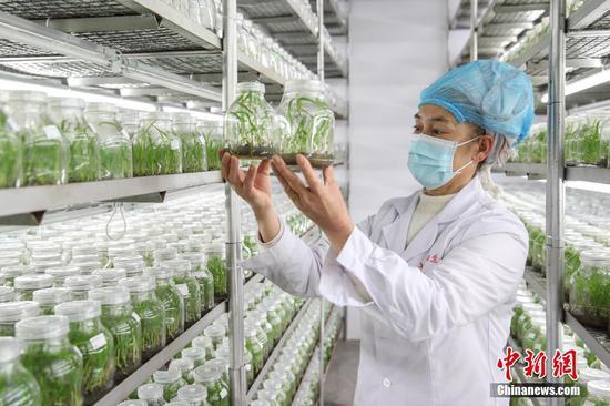 贵州普安:白及种苗繁育忙