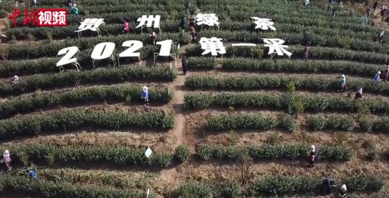"""沙龙网上娱乐茶园种植面积大省乐透世界迎来2021年绿茶""""第一采"""""""