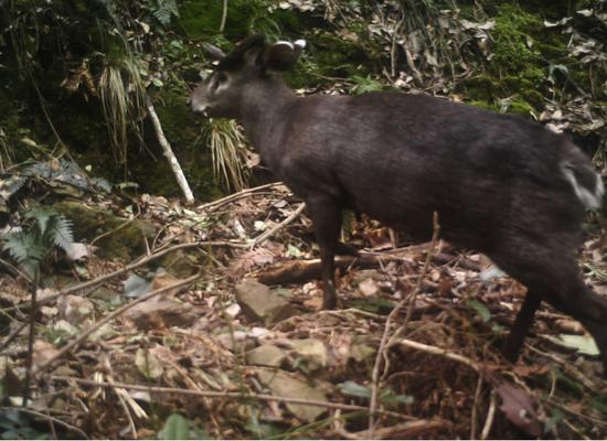 红外相机在浙江仙居拍摄到的毛冠鹿画面 台州市生态环境局仙居分局供图