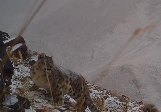 新疆一牧民近距离拍摄到雪豹觅食行踪