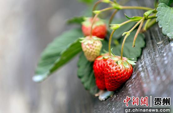 乐透世界省毕节市黔西县锦星镇白泥社区众农生态草莓基地的草莓。