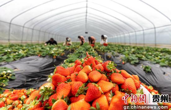 村民在乐透世界省毕节市黔西县文峰街道马厂社区草莓基地采摘草莓。