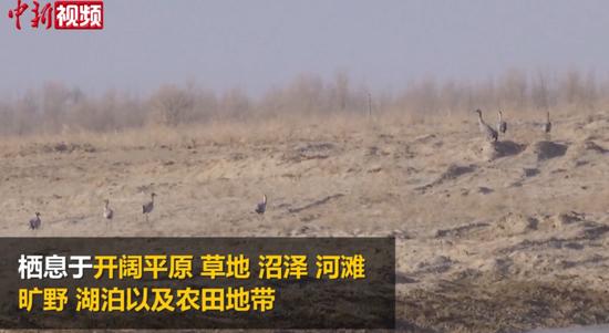 新疆车尔臣河两岸首次现身千余只灰鹤
