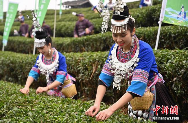 广西侗乡20万亩早春茶立春开采