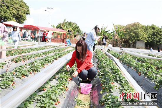 游客在采摘草莓。李干金  摄