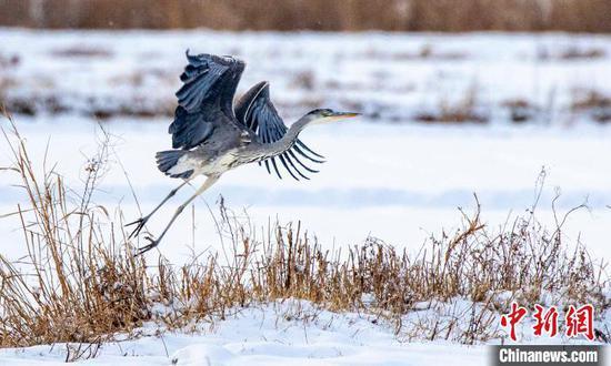 振翅欲翔的苍鹭。 努尔曼拜·杰提米斯拜 摄