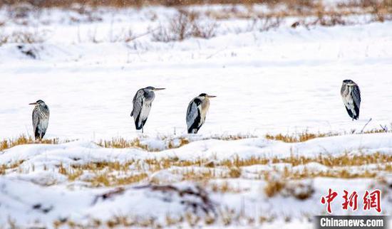 """苍鹭等鸟类""""嬉戏""""新疆察布查尔县湿地公园"""