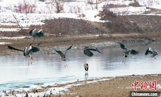一起准备翱翔的苍鹭   。 努尔曼拜·杰提米斯拜 摄