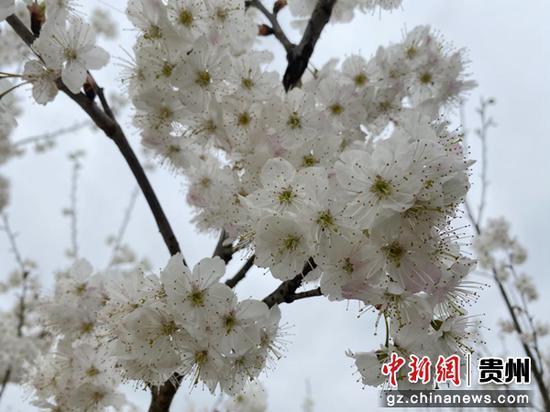 图为基地盛开的玛瑙红樱桃花。