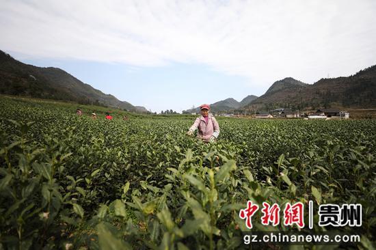 图为村民在茶园采摘茶叶。李鹤摄