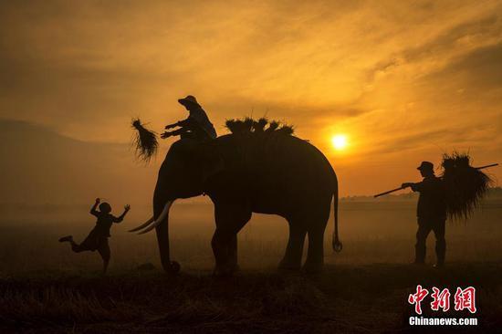 2月20日消息,泰国素林府,农民和大象在田间劳作。在当地生活着超过200头大象,亚洲象帮助农民们播种和运送稻谷,在村庄里十分常见,一些家庭将其当做宠物。摄影师称当地农民们经常与大象一起参加早晨的仪式,在他们开始一天的耕作之前鼓舞士气。(具体拍摄时间不详)图片来源:视觉中国