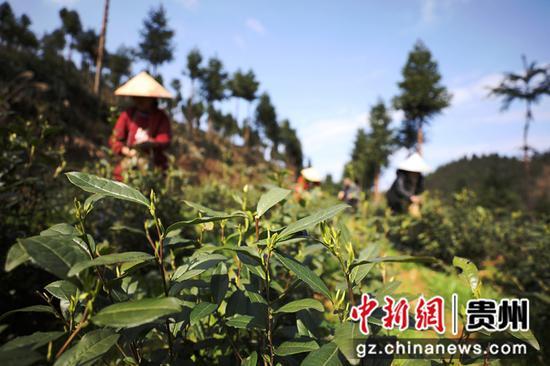 图为村民在茶园采摘茶叶。李鹤  摄