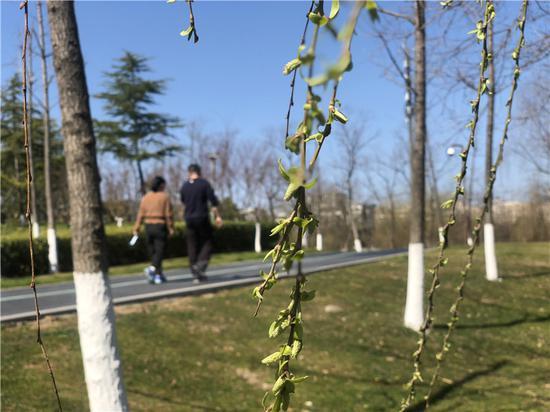 柳树长出新芽。林波 摄